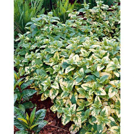 MENTHE GINGEMBRE (m. gentillis variegata)