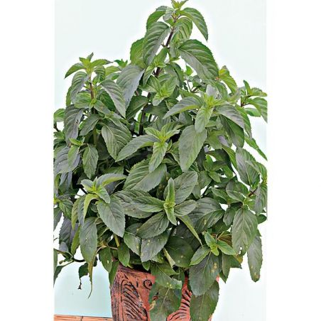 MENTHE BASILIC (m. spicata crispa)