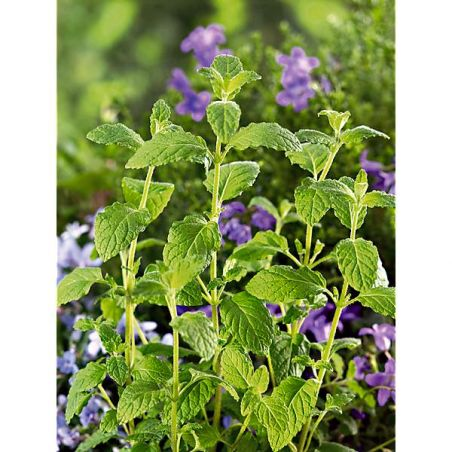 MENTHE FRAISE (m. spicata crispa)