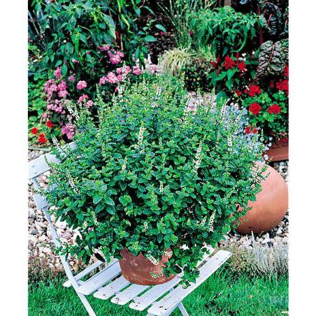 MENTHE marocaine CASABLANCA (m. spicata)