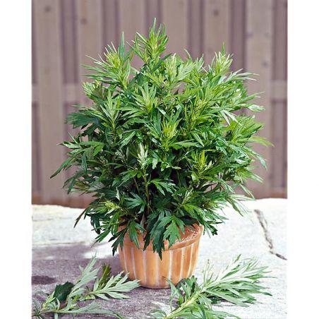 ARMOISE CITRONNELLE ou herbe aux cent goûts (artemisia vulgaris)