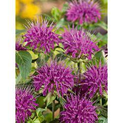 Pivoine Herbacée De Jardin Patio Peony™ Oslo