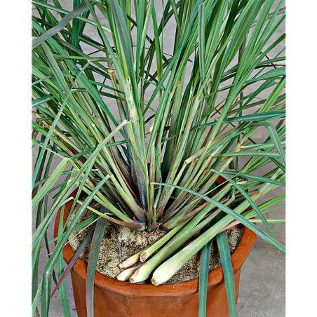 CITRONNELLE de Madagascar TASTY LEMON (cymbopogon citratus)