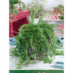 TULIPE Darwin hybride HOLLAND'S GLORIE