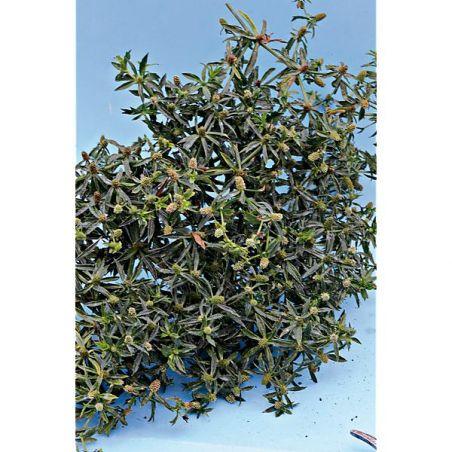 CORIANDRE CHINOISE ou MEXICAINE ou CULANTRO (eryngium foetidum)