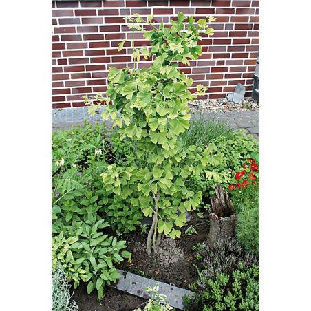 GINKGO BILOBA ou arbre aux 40 écus