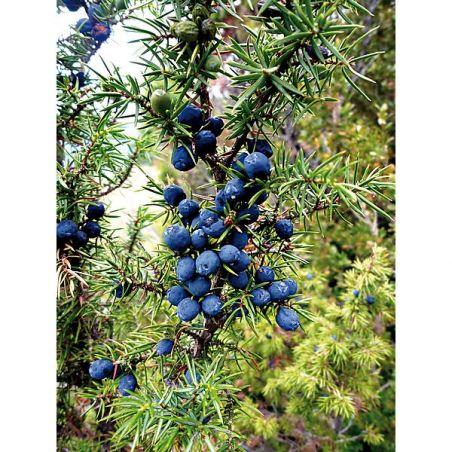 GENÉVRIER (juniperus communis meyer)