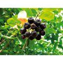 POMODORO LATOMATEBLEUE BAUMAUX® (indigo rose)