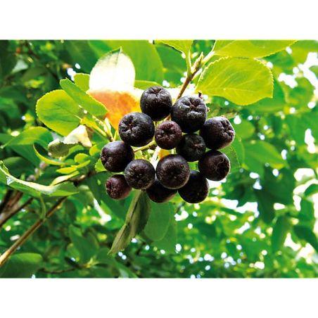 BAIES VITAMINÉES (aronia melanocarpa)