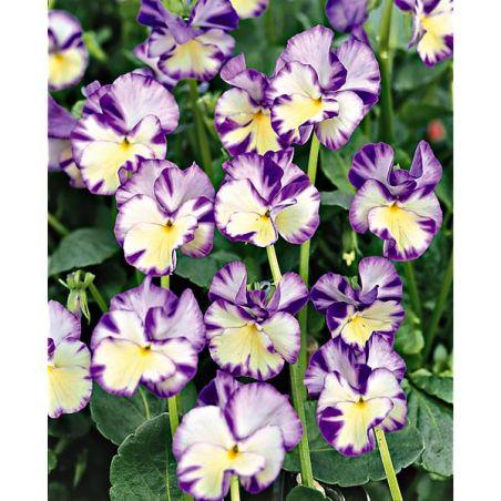 VIOLA REBECCA (viola pubescens)