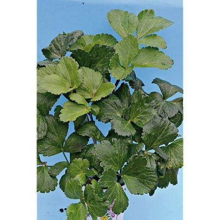 LIVÊCHE d'ÉCOSSE ou PERSIL de MER (ligusticum scoticum)
