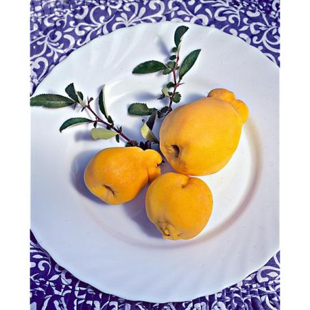 CITRON NORDIQUE (chaenomeles japonica cido)