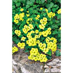 Super Géraniums Lierre Grandeur® Ivy Butterfly Bicolor