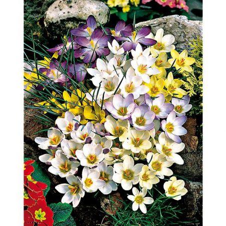 CROCUS chrysanthus MIX
