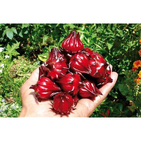 ROSELLE ou OSEILLE de GUINÉE (hibiscus sabdariffa)