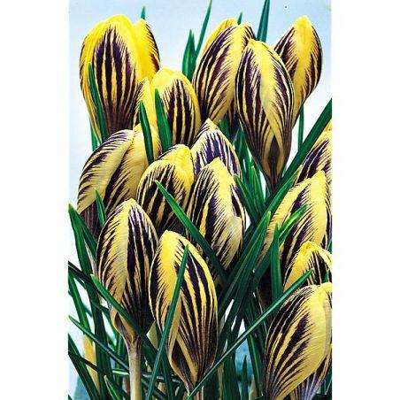 CROCUS chrysanthus GIPSY GIRL