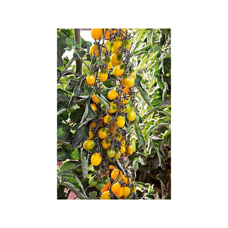 Basilikum Violetto Aromatico 75 Samen