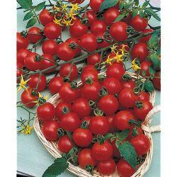 MARJOLAINE vivace MARGERITHA (origanum vulgare)
