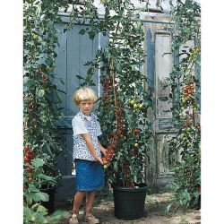 VERVEINE citronnelle FRESHMAN (LIPPIA CITRIODORA)