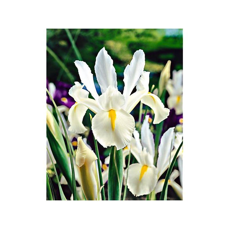 Sauge hispanica chia graines baumaux - Planter des choux fleurs ...