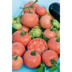 Tomate Greffée f1 Philovita