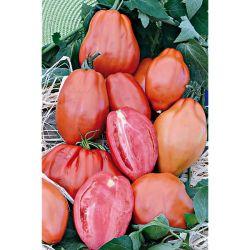 Tomate Greffée Rose De Berne