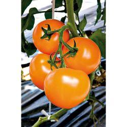 Tomate Greffée f1 Virgilio