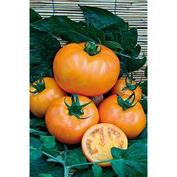 Tomate Greffée Ananas