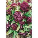 CACAHUÈTE ou ARACHIDE (arachis hypogaea)