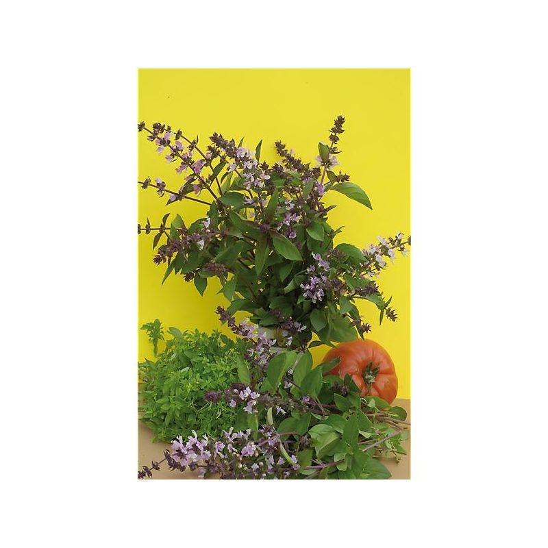 TAGETES ou ŒILLET d'INDE tenuifolia TANGERINE GEM