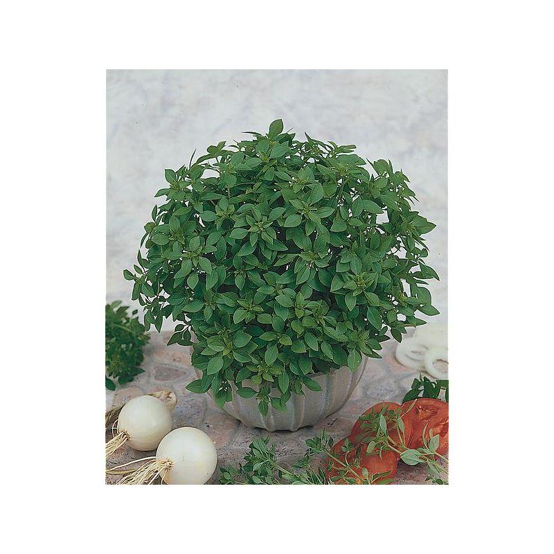 HERBE à SUCRE (stevia rebaudiana) Bio