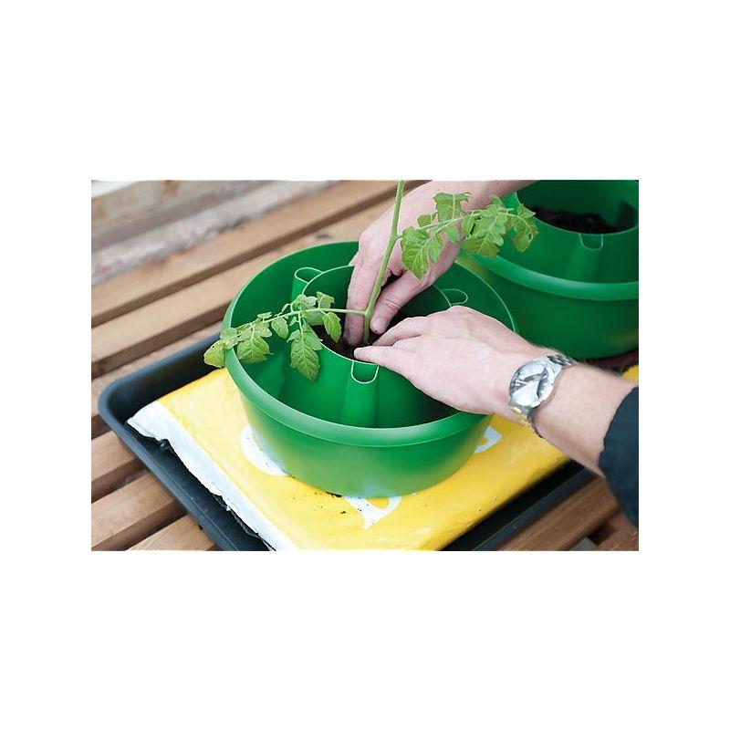 FRITILLAIRE persica GREEN DREAMS