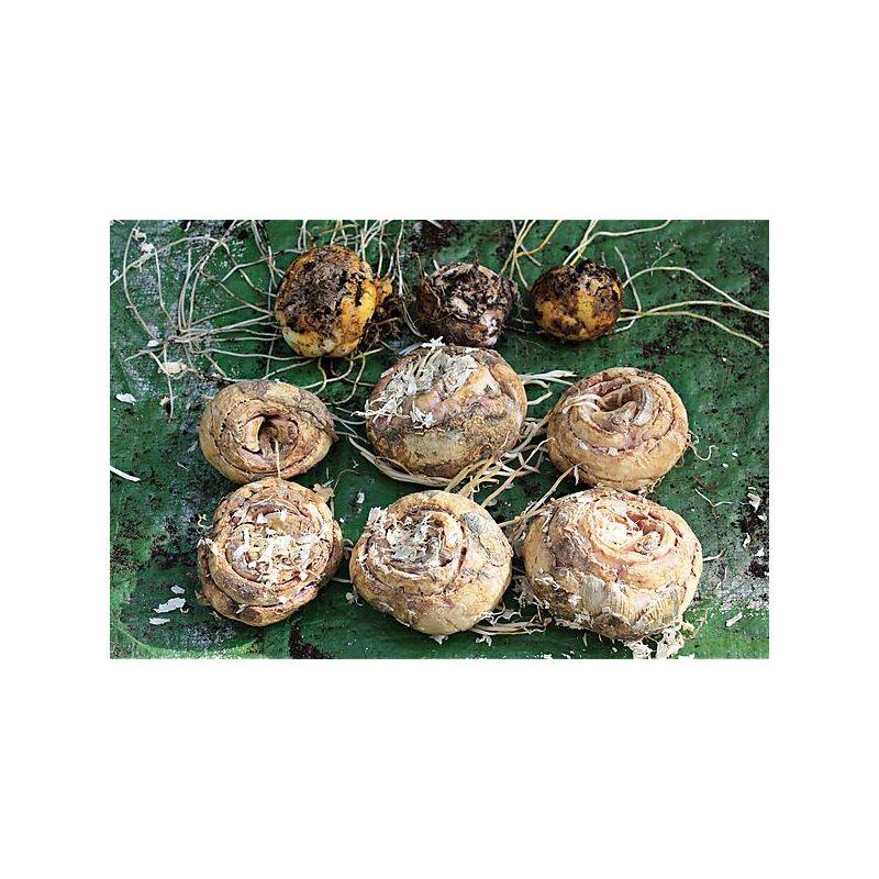 AIL ROCAMBOLE (allium scorodoprasum)