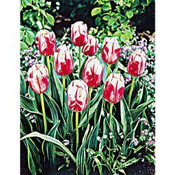 Tulipe Darwin Caravelle
