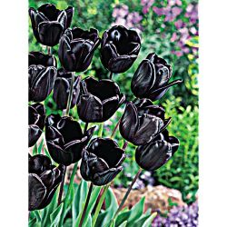 Tulipe Clusiana