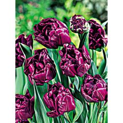 Tulipe Dancing Fairy