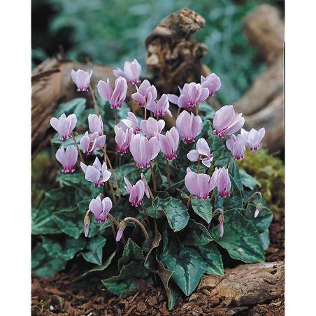 CYCLAMEN NEAPOLITANUM (hederifolium)