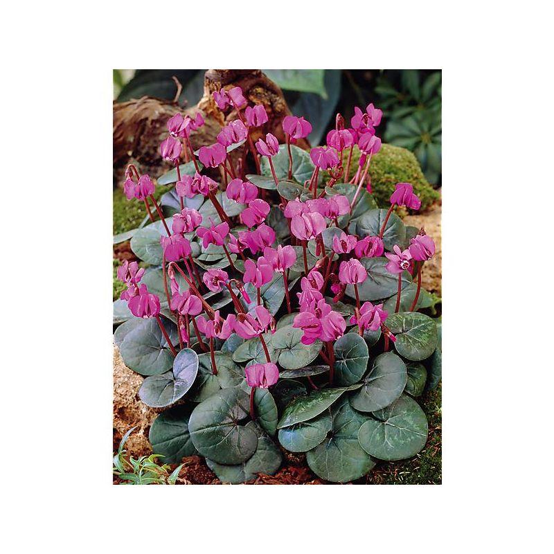 BRACHYCOME iberidiflora BRAVO
