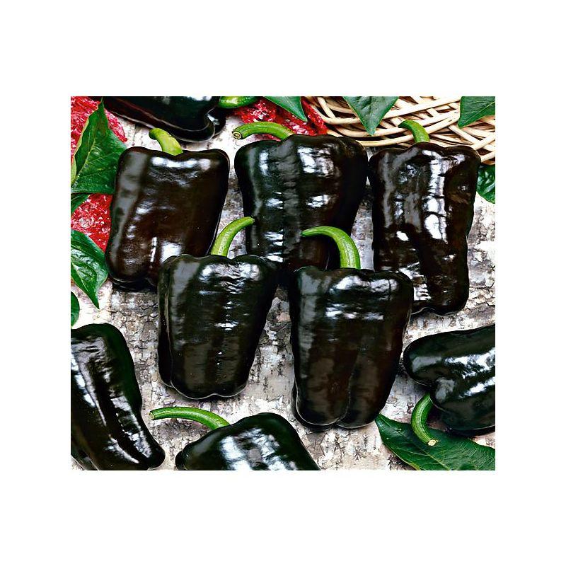 PIMENT TEPIN ou piment poivre