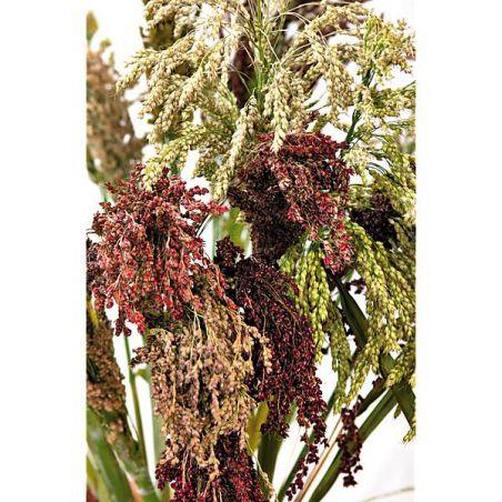 SORGHO HYBRIDE (sorghum bicolor)