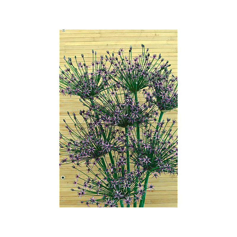 OIGNON ROCAMBOLE ou OIGNON d'ÉGYPTE (allium cepa var. viviparum)
