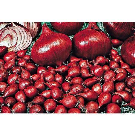 OIGNON rouge RED BARON