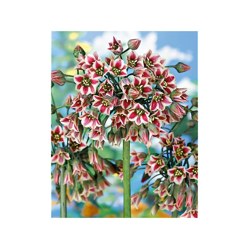 CHRISTOPHINE VERTE ou CHAYOTTE (sechium edulis)