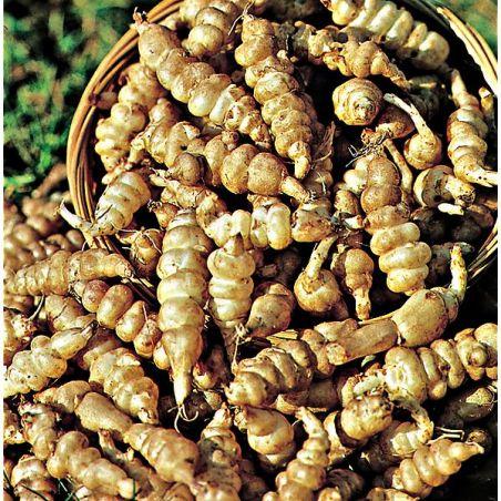 CROSNE du JAPON (stachys tuberrosa)
