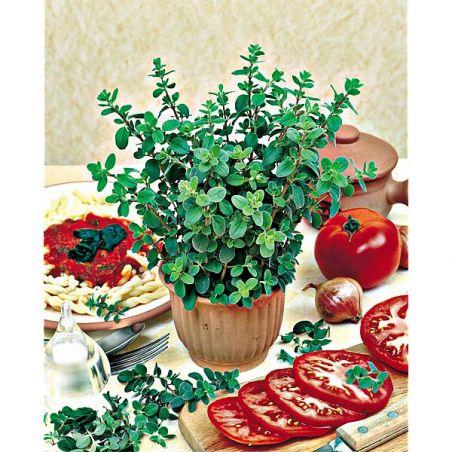 MARJOLAINE ANNUELLE (origanum majorana)