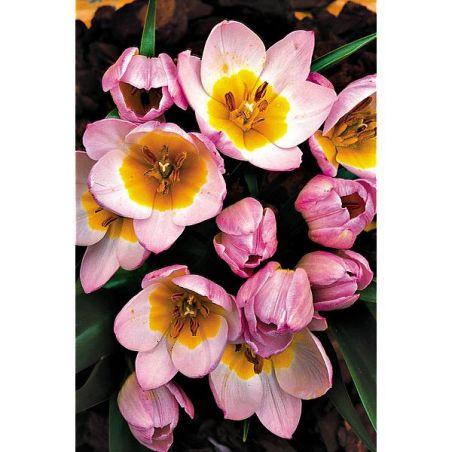 TULIPE SAXATILIS ou tulipe de Crète