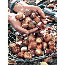 CAROTTE ROUGE LONGUE OBTUSE SANS CŒUR ou carotte des Ardennes (Lange rote stumpfe ohne Herze 2 ou Berlicum 2) Bio