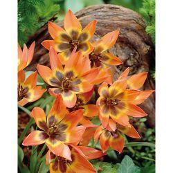 Pétunia Multiflora f1 Mirage Écarlate Brillant