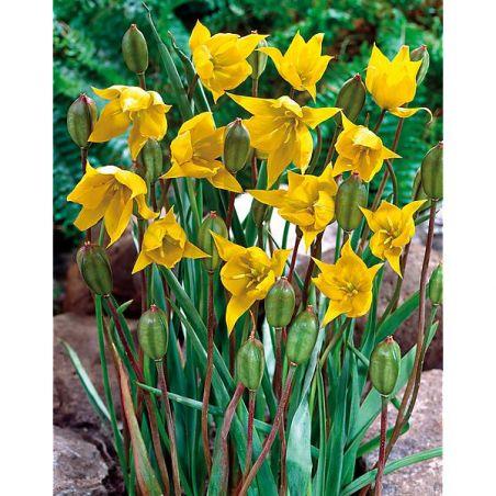 TULIPE SYLVESTRIS (tulipe des bois)