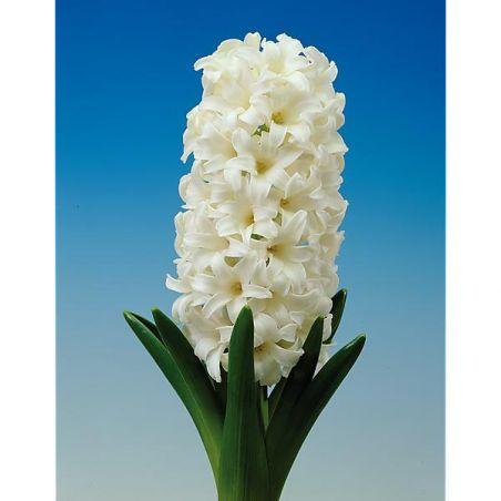JACINTHE WHITE PEARL
